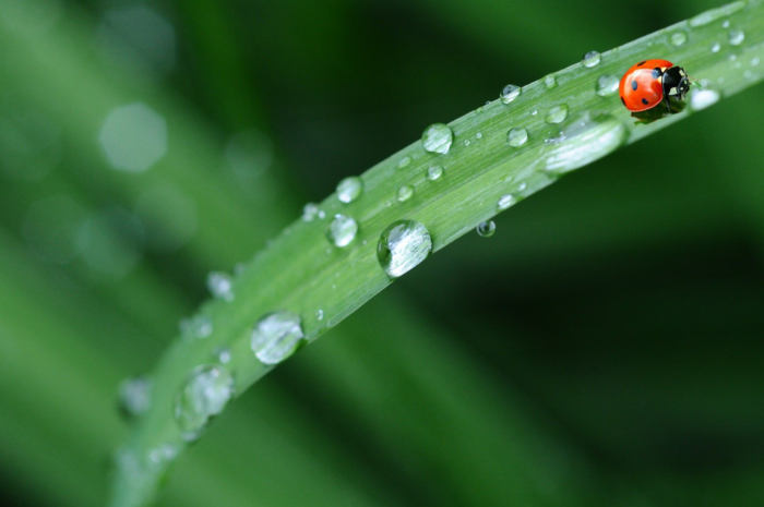 A single ladybug walks on a blade of grass covered in a multitude of light bending raindrops.